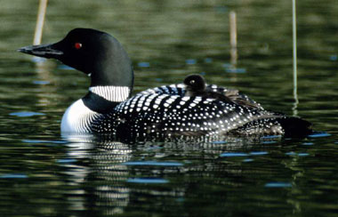 a photo of a loon bird
